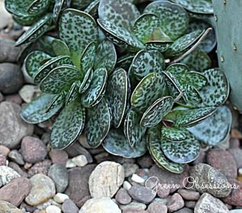 succulent2