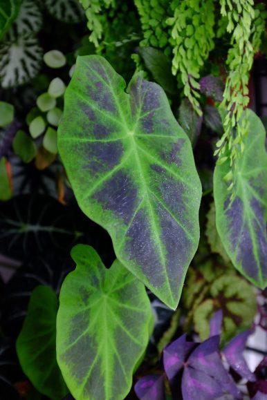 Colocasia Antiquorum Illustris aka Imperial taro