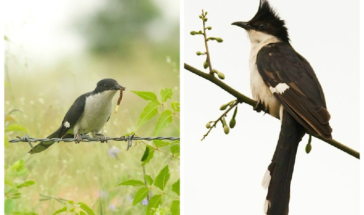 A Jacobin Cuckoo/ Pied Crested Cuckoo photographed near Mysore