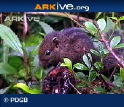 ARKive photo - Dusky-striped squirrel
