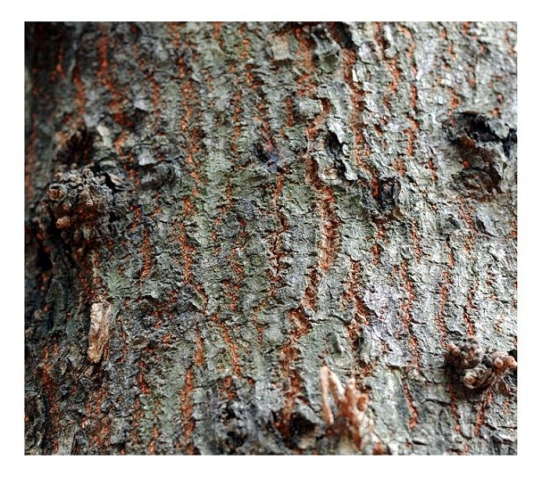 Cannon Ball Tree Bark Texture - Old Sample