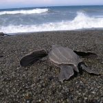 Review: Carl Safina's pursuit of the Leatherback Turtle