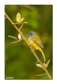 Grey-headed Canary Flycatcher: An Afternoon Haiku
