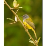 Grey-headed Canary Flycatcher: An Afternoon Haiku