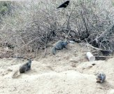 Brewer's Blackbirds, Red-winged Blackbirds and California Ground Squirrels frequented