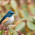 Encounter: Himalayan Bluetail