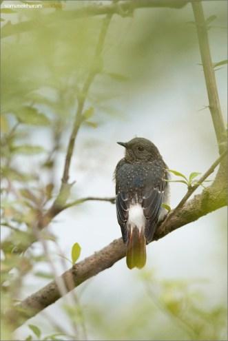 A juvenile male, perched for a change on a bush