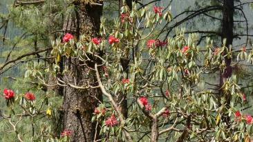 A red rhododendron canopy