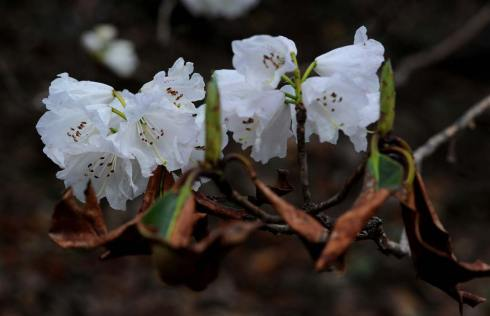 A cluster of snow-white dwarf rhododendron flowers