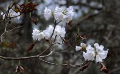 White flowers of dwarf rhododendron