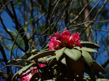 Rhododendron nilgiricum