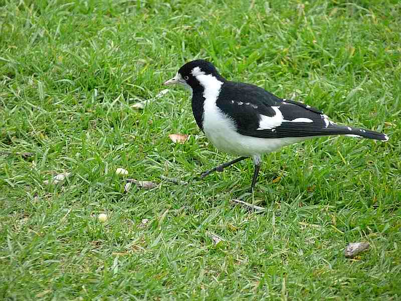 Female Magpie-Lark in Melbourne