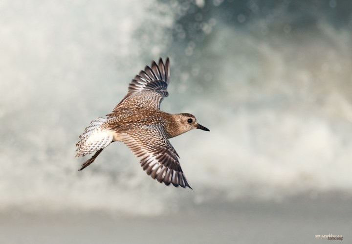 The grey plover