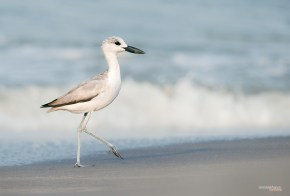 Say, does this Crab Plover speak Malayalam?