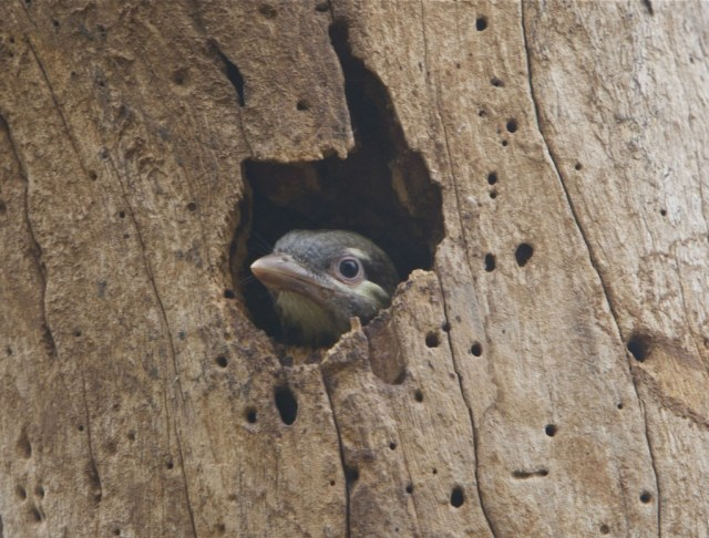 A young White Cheeked Barbet, through the window of opportunity