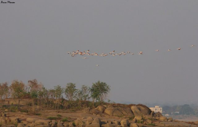 Flamingos flying away in the distance