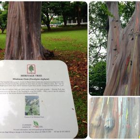 In Rainbows – The Mindanao Gum Tree