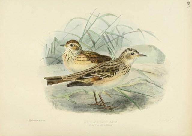 Oriental Skylark - plate from Biodiversity Heritage Library