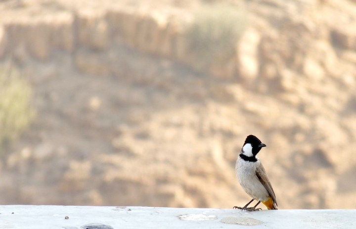 The adorable and daring White-eared Bulbul