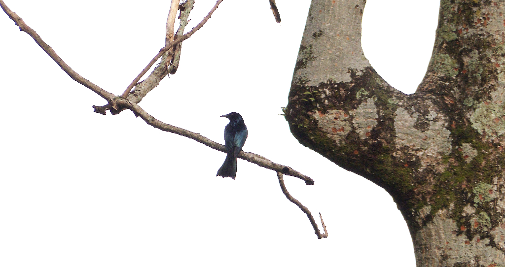 Out on a limb, this Crow-billed Drongo very much resembles its cousin, the Racket-tailed Drongo, but is yet different
