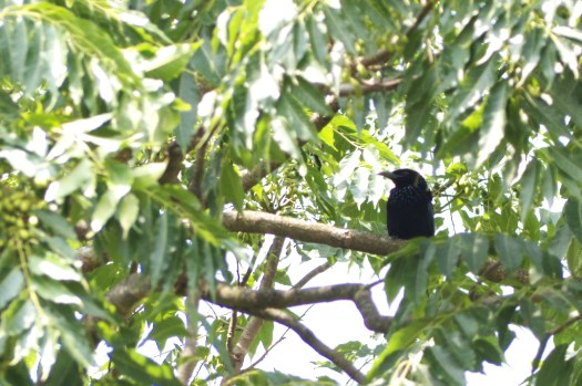 Hidden among the trees, a Crow-billed Drongo examines its world