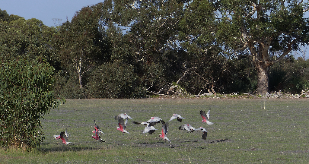 A flock of galahs takes wing lazily upon my approach