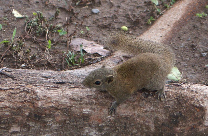 The Hoary-bellied Squirrel hails from a family of tree squirrels known as the Beautiful Squirrels