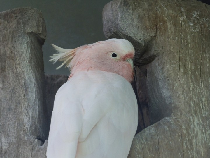 A Captive Major Mitchell's Cockatoo at Lone Pine Koala Sanctuary
