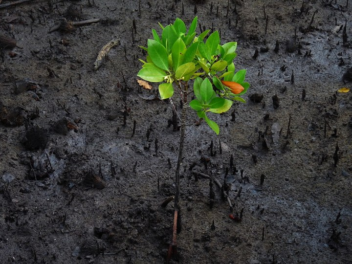 Signs of new life abound. A young mangrove sapling reaches for the light