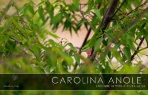 Encounter with a picky eater – Carolina Anole
