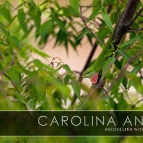 Encounter with a picky eater – Carolina Anole