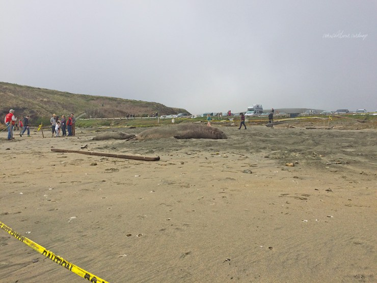 Quarantined - tapes are set up to ensure that the Northern Elephant Seals enjoy their privacy and space