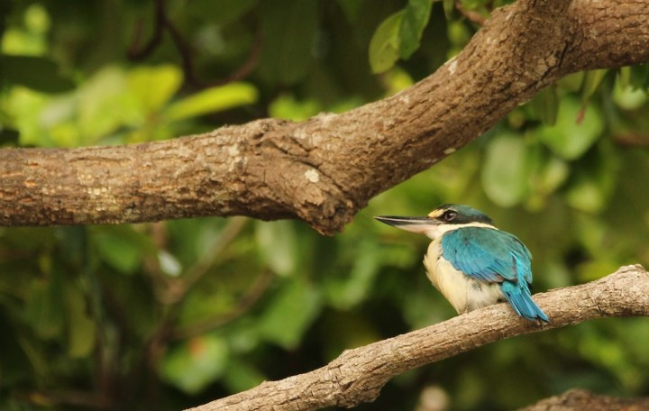 A Collared Kingfisher from a vantage