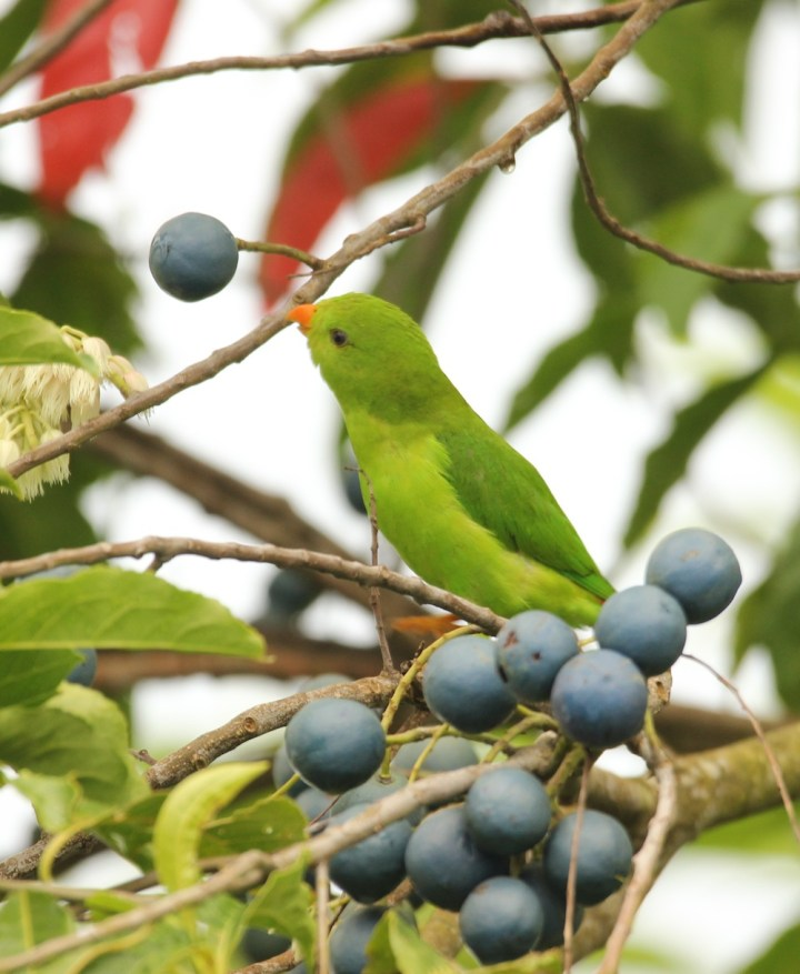 Blue berries on the menu for this Vernal Hanging Parrot