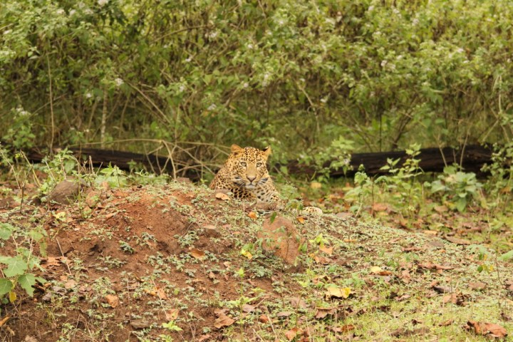 For an untrained eye It would have been easy to miss this leopard