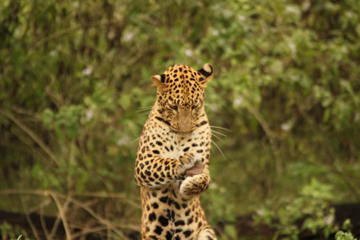 The Leopard stood up on its hind legs holding a small rock in its front paws