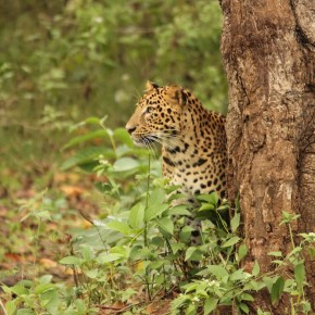 Prying on a leopard – Panthera pardon us!