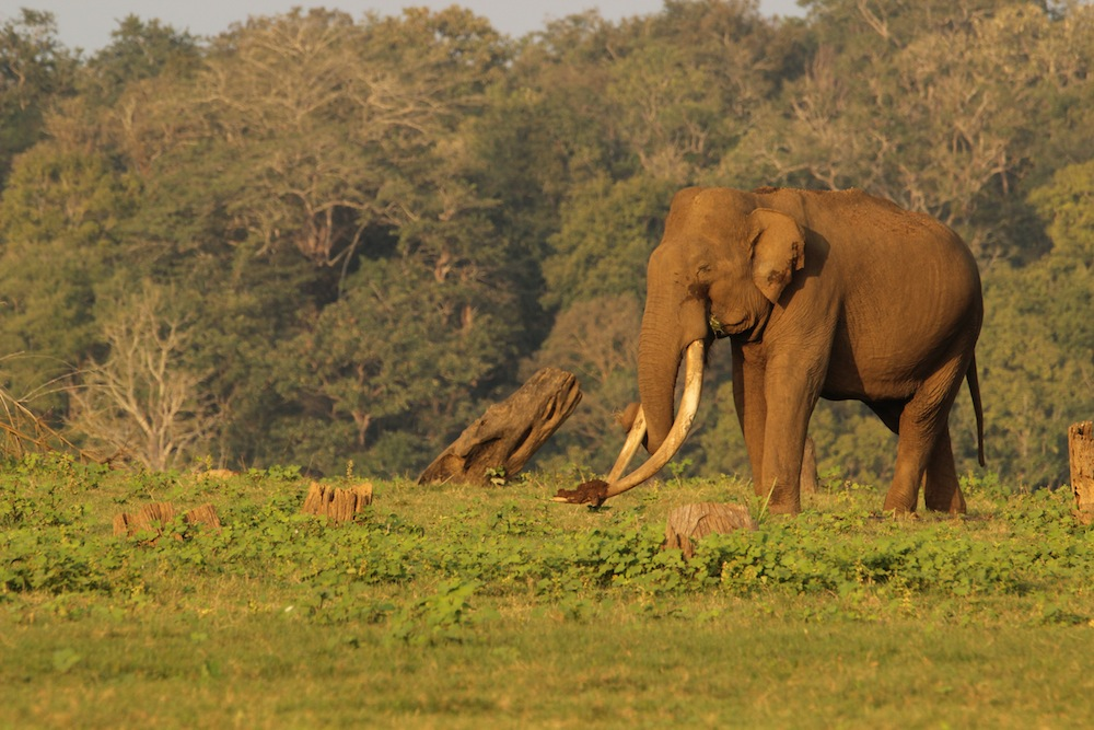 Mr Kabini - grazing on the banks of the Kabini