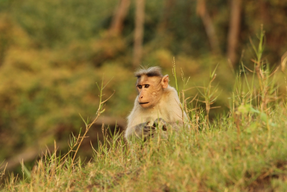 A Bonnet Macaque by the shore