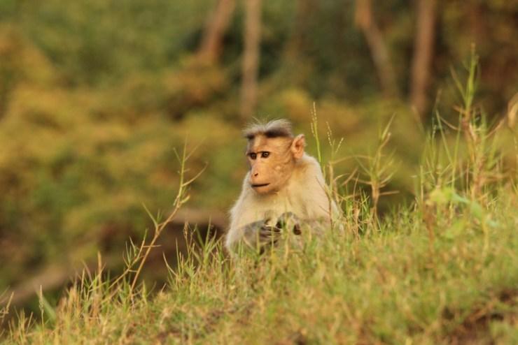 A Bonnet Macaque by the shore