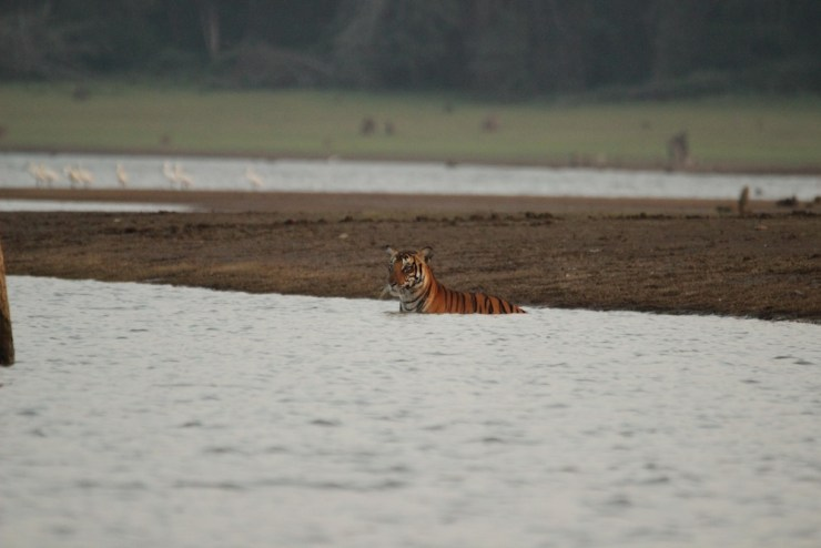 The tiger was focusing on an objective that wasn't evident to me