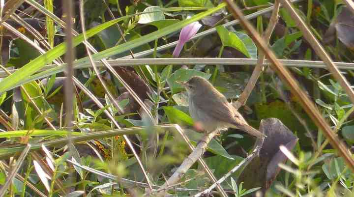 Blyth's Reed-Warblers were the most numerous of the wintering warblers