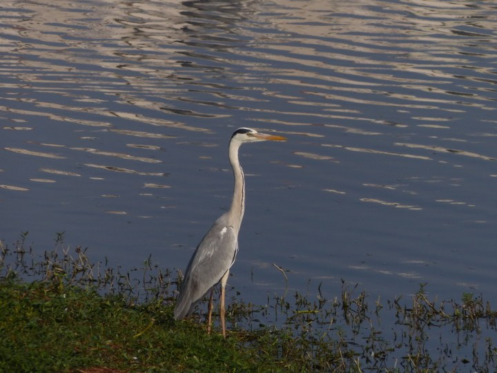 There are plenty of Grey Herons in Kaikondrahalli