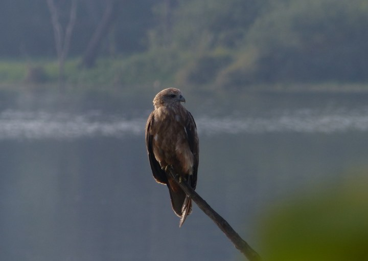 This immature Brahminy Kite is just getting its true colours