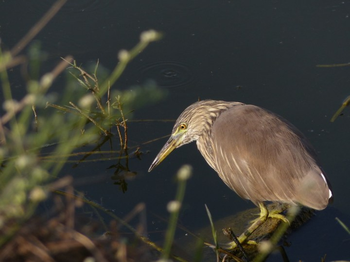 An alert Indian Pond Heron prospects for breakfast