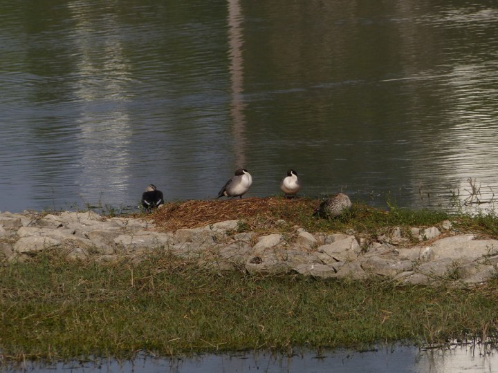Northern Pintails in a sleepover with Spot-billed Ducks