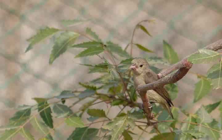A restless Pale-billed Flowerpecker strikes a pose long enough to be shot