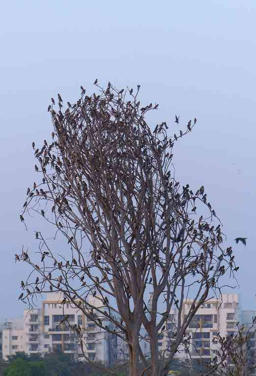 Rosy Starlings occupy all the seats on this burdened tree