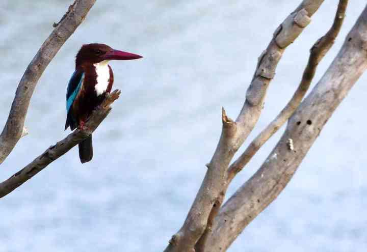 White-throated Kingfisher at Kaikondrahalli Lake