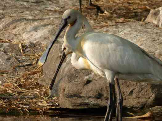 Adult Eurasian Spoonbills are rather regal in appearance